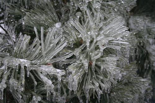 icepine.jpg